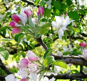 apple-pruning-Apple blossoms Apple Tree Pruning