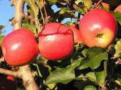 apple-pruning-Apples, 1 Apple Tree Pruning