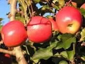 apple-pruning-Apples, 1
