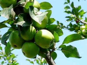apple-pruning-Apples, 2 Apple Tree Pruning