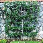 gardening apple-pruning-Espalier