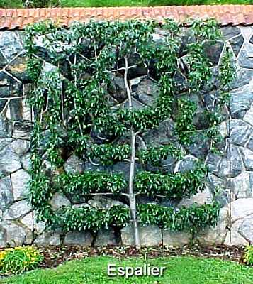 apple-pruning-Espalier Apple Tree Pruning