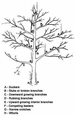 apple-pruning-Illustration 1 Apple Tree Pruning