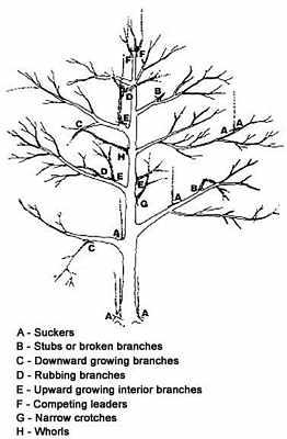 apple-pruning-Illustration 1