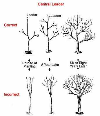 apple-pruning-Illustration 3