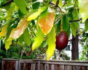 avocado-avocado_tree Avocado