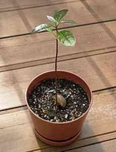avocado-step_9 Avocado