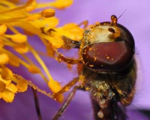 bees-Pollinating bee, 2 Bees