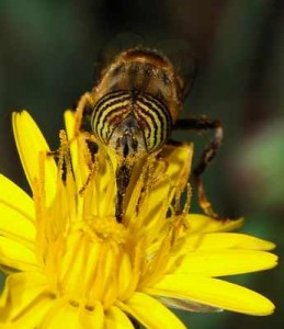 bees-Pollinating bee, 3 Bees