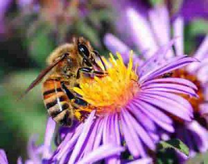 bees-Pollinating bee, 5 Bees