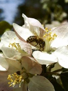 bees-Pollinating bee, 6 Bees