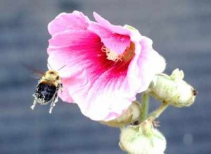 bees-Pollinating Flower Pollen Allergies