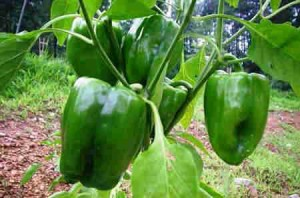 bell-peppers-Bell pepper plant Epsom Salts