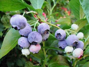 blue-blueberries__2 blueberries