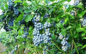 blue-blueberries__4 blueberries