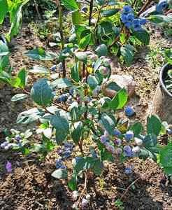 blue-blueberry_bush blueberries