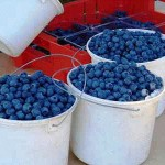 blue-blueberry_harvest gardening