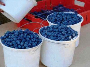blue-blueberry_harvest blueberries
