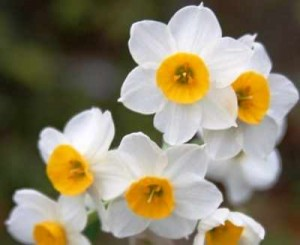 bulb-Daffodils