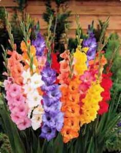 bulb-Gladiolus