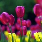 gardening bulb-Tulips