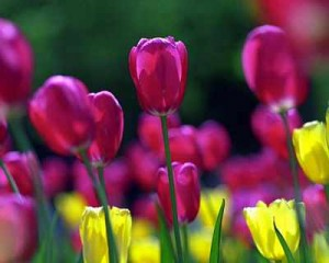 bulb-Tulips