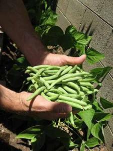 bush-beans-5 Bush Beans