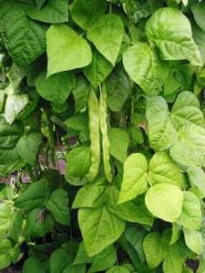 bush-beans-7 Bush Beans