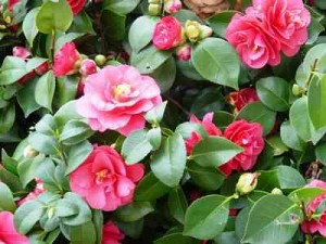 Camellias-1