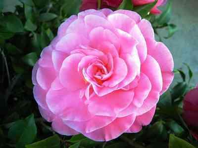 Camellias Pink