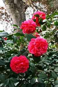 Camellias 4