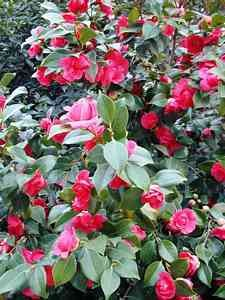 Camellias flower