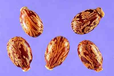 Castot bean