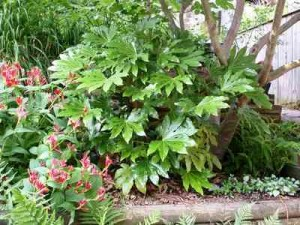 Castot bean Fatsia Japonica castor bean plant