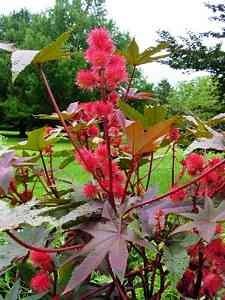 Castot bean castor bean plant