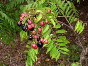 curry tree berries leave Curry leaf tree