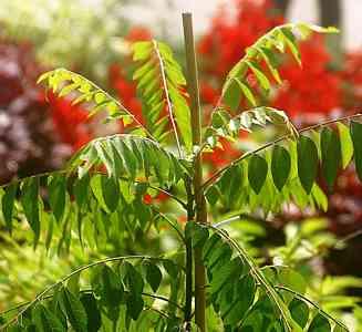 Curry Leaf Tree From India Murraya Koenigii With Aromatic