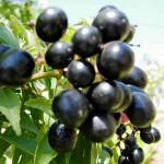 gardening curry tree berries