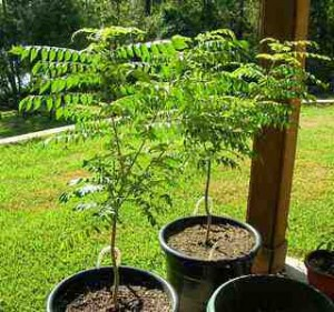 Curry leaf tree curry-Young trees
