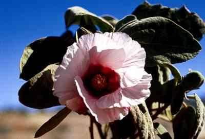 Sturts desert rose desert rose