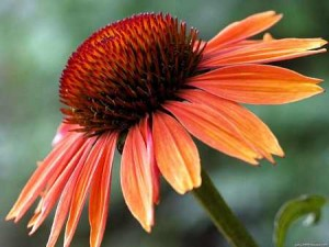 echinacea orange close