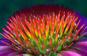 echinacea close