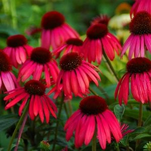 echinacea deep red