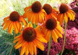 echinacea orange