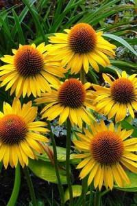 echinacea yellow
