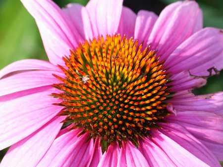 echinacea mauve close