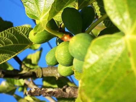 Fruit tree in spanish