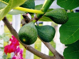 Fig view on Tree figs