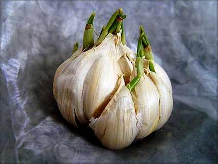 Garlic bulb Herbal Information