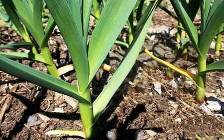 Garlic bulb Planted